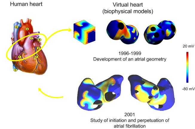 Biophysical atrial model