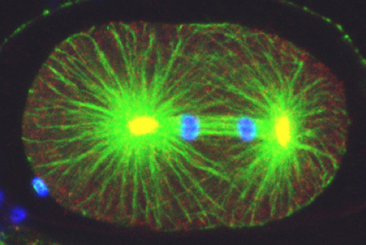 Mitosis in fixed one-cell C. elegans embryo stained with antibodies against tubulin (green), the centrosomal component ZYG-9 (red, yellow in the overlay with green), and counterstained with a DNA dye (blue). Note asymmetric spindle positioning. © EPFL - Gönczy Lab
