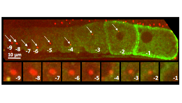 C. elegans gonad from an animal expressing the centriolar marker RFP:SAS-7 and a the marker of oocyte maturation RME-2::GFP; lower row shows inset of centriolar region.