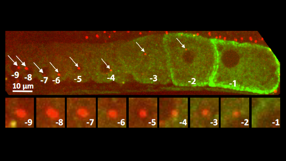 C. elegans gonad from an animal expressing the centriolar marker RFP:SAS-7 and a the marker of oocyte maturation RME-2::GFP; lower row shows inset of centriolar region. Note that the focus of RFP:SAS-7 diminishes as the oocyte matures and is entirely absent from the -1 oocyte. © EPFL - Gönczy Lab