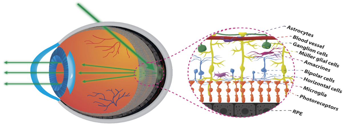 Transscleral oblique illumination (left) – Representation of the cellular structures of the human retina (right).