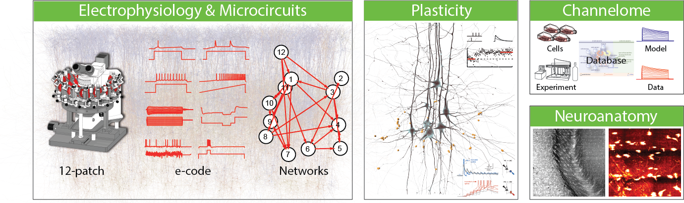 The Laboratory of Neural Microcircuitry (LNMC), headed by Professor Henry Markram, is dedicated to understanding the structure, function and plasticity of the neural microcircuits, with emphasis on the neocortex.