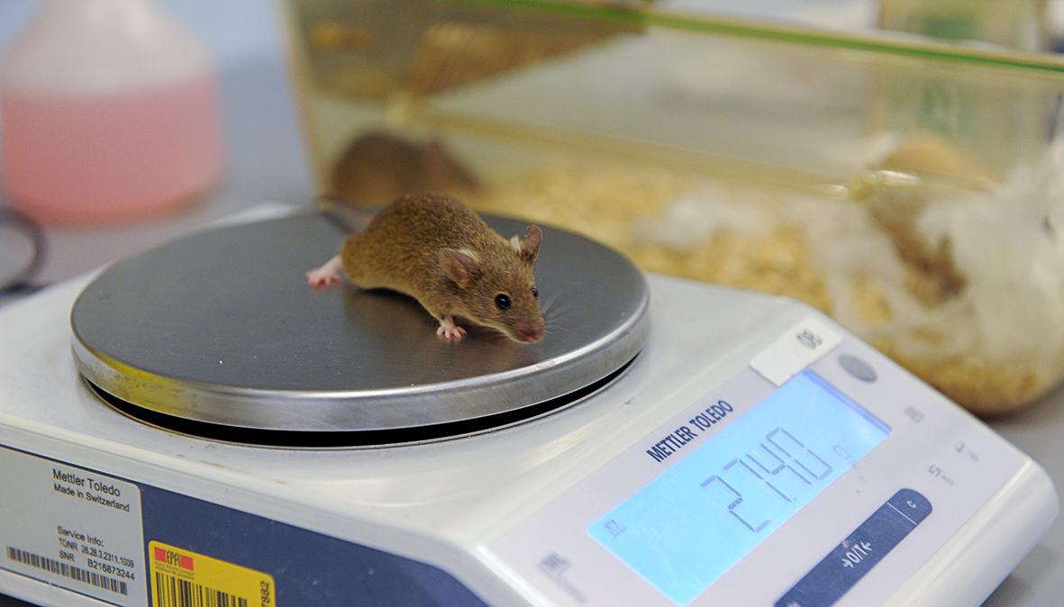 Pesée d'une souris au Centre de PhénoGénomique de l'EPFL © Bruno Marquis