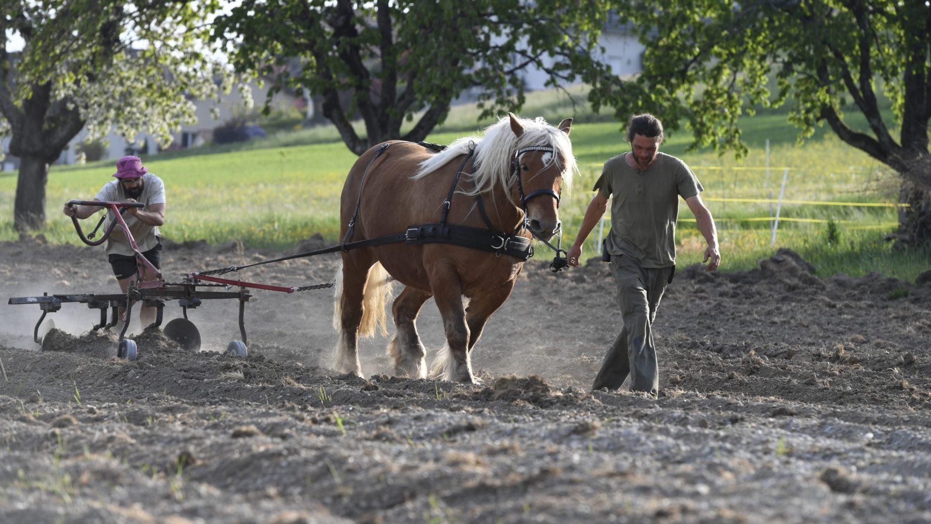Baptiste Calliari (à gauche) et Timothée Faes (à droite) font de la traction animale à l'aide de la jument Anika © Ferme de Bassenges
